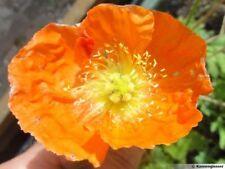 Petit PAVOT Orange d'Islande Nudicaule ICELAND 1 gramme graines 1000 SEEDS