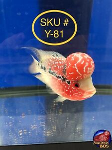 Flowerhorn FEMALE  VERY RARE Super Red Dragon, 4.5 Inch, MONSTER KOK, SKU #Y-81