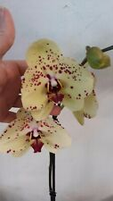 Orchidee Phalaenopsis ALBUFEIRA, blüht im moment