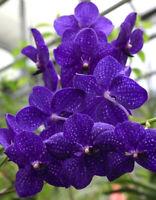 100 Seeds Vanda Blue Orchid Flower Plants Beautiful Bonsai Decoration Garden