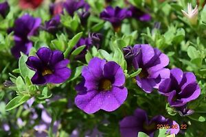 PETUNIA Kabloom Calibrachoa Series Deep BLUE  20 QUALITY fresh Seeds