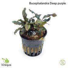 Bucephalandra Deep Purple Live Aquarium Plants Shrimp & Snail Safe Low Tech EU