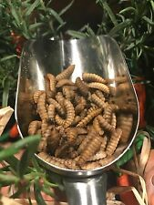 Live Black Soldier Fly Larvae - Approx. 150 count - 1.38 Ounces Excellent Feed