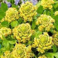 Seeds Heal Reseda Mignonette Herbs Medicinal Plant Annual Organic Russia Ukraine