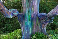 200pcs/Lot Rare Rainbow Eucalyptus deglupta, showy tropical tree seeds for GRDN