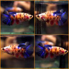 New listing Live Betta Fish Fancy Multi-Color Koi Halfmoon Hm Female C404