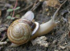 1 Live Land Milk Snail Otala Lactea PAIR XL QuarterSize,Breeder,Pet,Fun, Edu