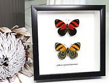 Real South American frame butterfly Taxidermy home decor for sale BBCC2