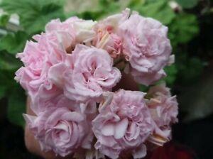 Rosengeranie MILLFIELD ROSE Pelargonie Steckling