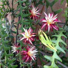EPIPHYLLUM ANGULIER - SUCCULENTE - talea - bellissimi fiori