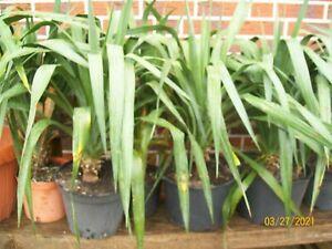 Yucca gloriosa, winterhart, stammbildende Palme, recurvifolia, 70 bis 80 cm