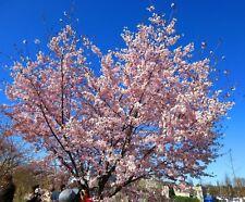 Sargent Cherry, Sakura, Cerasus sachalinensis (Prunus sargentii) 10 seeds
