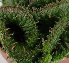 Euphorbia flanaghanii crested /cristata , vaso 5,5CM (ariocarpus,copiapoa,仙人掌 )