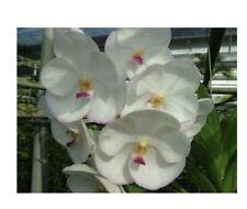 Ascda Muang Thong Vanda orchid plant in Wood Basket Limited offering