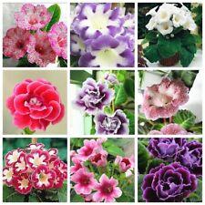"""50 """" 9 Various colors/"""" mixed Gloxinia Sinningia Seeds"""