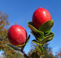 Free US Shipping Flatwoods Plum   Prunus umbellata   10  Seeds
