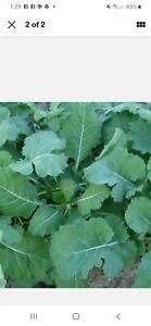100+ ORGANIC GEORGIA COLLARD GREEN SEEDS SOUTHERN  HEIRLOOM, NON GMO,