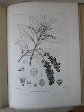 Vintage Print,Plate 295, FIDDLE WOOD, 1st Ed,c1900, SILVA, Trees