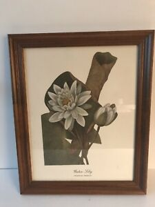 Vintage Smithsonian Museum Botanical Print of Water Lily Nicely Framed 1960's
