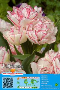 "@//(◕‿◕)\@ Tulpen : Mehrblütige Tulpe  "" Belicia "" ~"