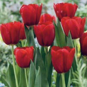 "RED TULIPS ""HERITAGE TRIUMPH"" Bulbs (Pack 10 Bulbs) Perennial Zone3-8 Guarantee"