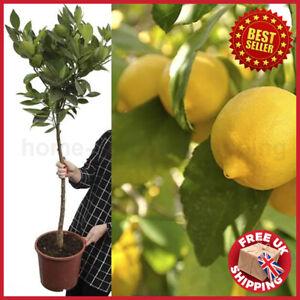 1.2M (4ft) Large 'Eureka' Lemon Citrus Tree Fruit in 6.5L Pot Garden Outdoor