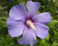 BLUE BIRD ROSE OF SHARON HIBISCUS Syriacus Flower Tree Bush Seeds  (5 nos) F-045