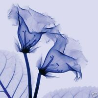 GLOXINIA (24x24) and DATURA (24x24) SET by STEVEN MEYERS XRAY 2PC CANVAS
