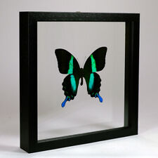 Real taxidermy butterfly mounted in double glass frame - Papilio Blumei