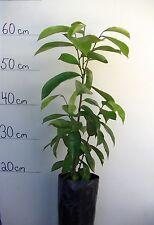 ORGANIC SOURSOP GRAVIOLA FRUIT TREE SEEDLING PLANT SOUR SOP GUANABANA MURICATA