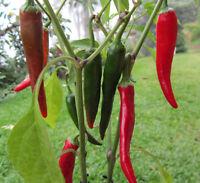 🔥 AFRICAN CAYENNE Chili*Rekordernte mittelscharf*10 Samen