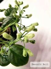 African Violet Emerald Bell- Starter Plant/Plug