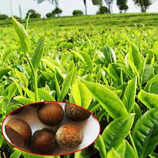 10PCS Chinese Green Tea Seeds Tree Decor Flower Plant Bonsai House Garden Health