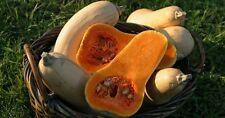 Winter Squash, Waltham Butternut - Organic,Heirloom 30 Seeds Indiana Grown 2018