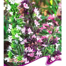 FD2497 Hyssop Seed Hyssopus Officinalis Herb Seed ~1 pack 50 seeds~