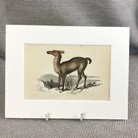 1853 Lama Wild Animali Zoology Fauna Selvatica Originale Antico Stampa