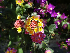 Lantana Camara (confetti) 3 cuttings plus 2 gratis from Spain