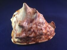 Schnecke  M212  -  Cassidae  -  Cassis tuberosa