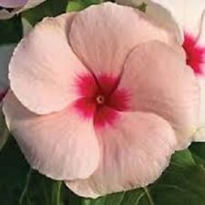 40+ Peach Colored Vinca Periwinkle / Fragrant / Annual Flower Seeds