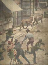K0914 Tre leoni in giro per le strade di Isleworth spaventano gente_Stampa ant.