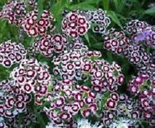 250 Dianthus Seeds Holborn Glory FLOWER SEEDS