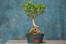 Robust Root-Over-Rock 'Tiger Bark' Ficus Pre-Bonsai! Easy to Care!