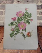 Planche pédagogique poster art print Botanique N°65 F2 Rosier Églantier rose