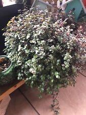 Callisia Repens-Creeping Inch Plant-Bolivian Jew Live Plant