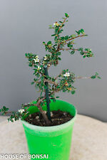 "Contoneaster shoin bonsai tree/ 4"" , long flowering and berrying season"