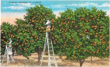 Picking Oranges in Florida Postcard