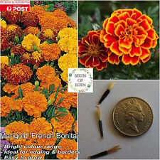 "20 MARIGOLD ""FRENCH BONITA"" SEEDS, Easy to grow; ideal for edging & borders"