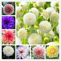 2 Pcs/bag Rare Dahlia Bulbs Four Seasons Flower Mix Colors Bonsai Seeds Pot Plan