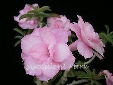 """Rosy Adenium Obesum (Desert Rose) """"Patumma"""" grafted plant"""