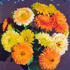 CALENDULA Pacific Beauty Mix 50 Seeds